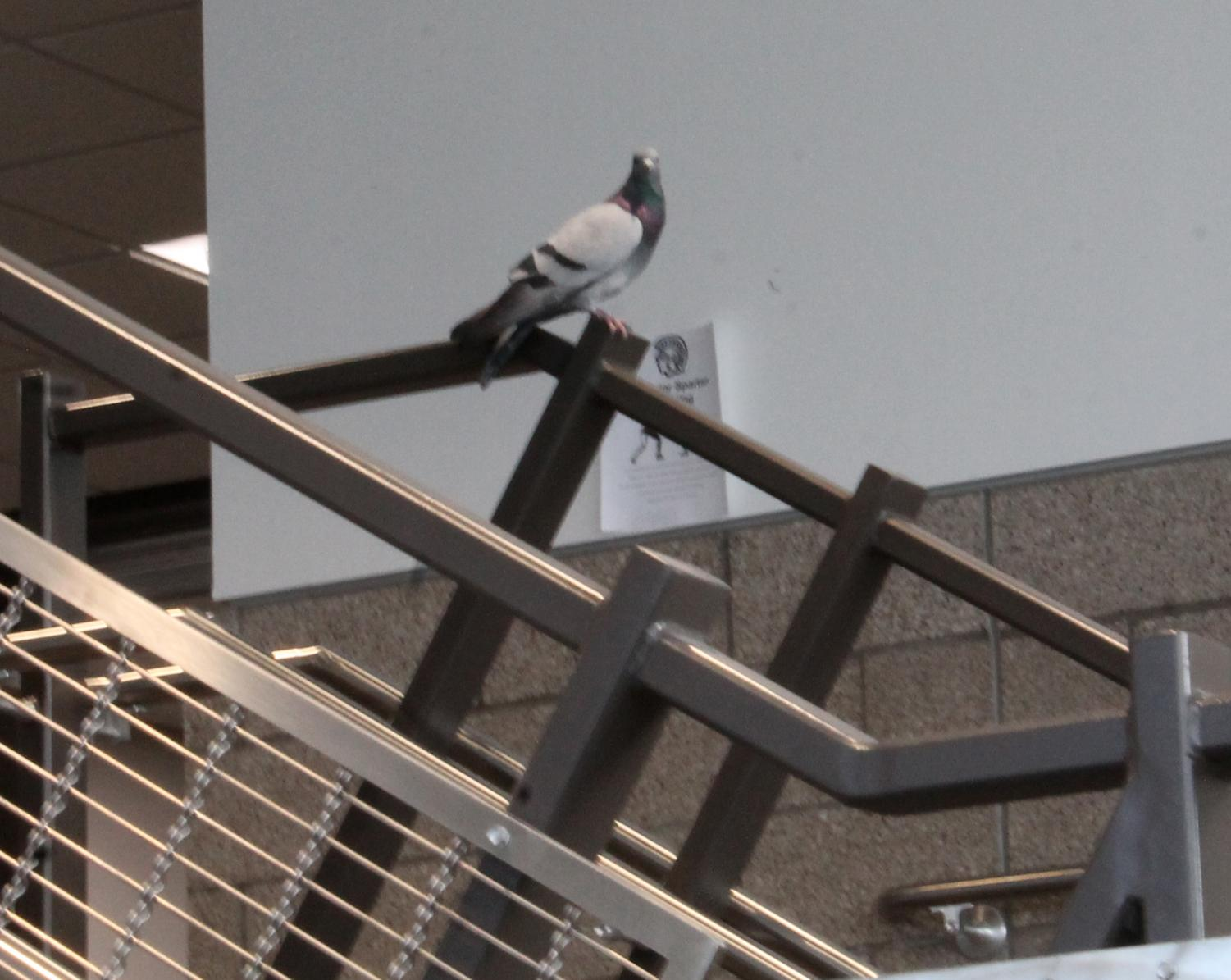 This pigeon was hanging out on the stairs going up to the third floor but did not properly check into the office on Nov. 12.